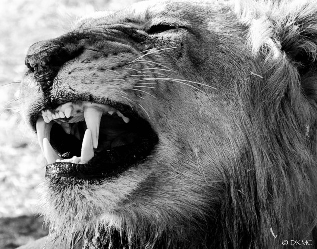 Lions do not chew their food, but rather they use their molars and pre-molars, which are modified into what is called a carnassial shear, to slice and cut the flesh/meat into small enough pieces to swallow.